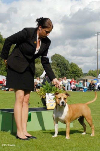 American Staffordshire Terrier Parastone'S Because Its Me (Chili) - Hörby'13