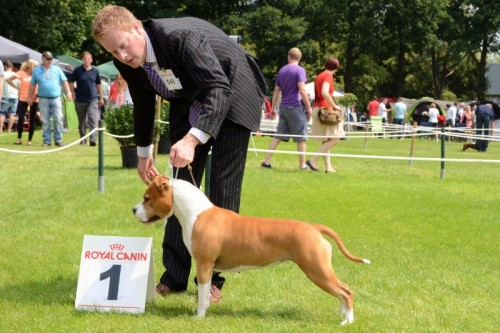 American Staffordshire Terrier Parastone'S Designed With Love (Lilly) - Echt'13