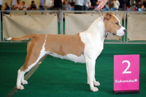 American Staffordshire Terrier Parastone'S Being A Jetsetter (Djennie) - Rotterdam'12