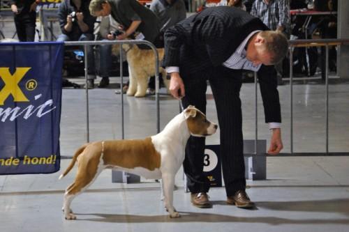 American Staffordshire Terrier Parastone'S Being A Jetsetter (Djennie) - de Utrecht'12