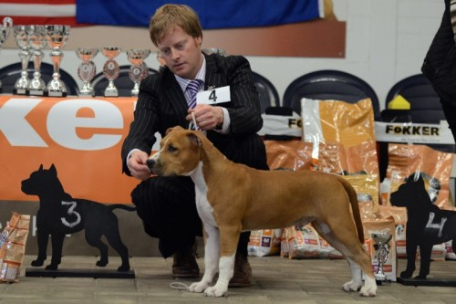 American Staffordshire Terrier Parastone'S Easy Does It (Easy) - Kerkwijk'14