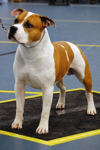American Staffordshire Terrier Parastone'S Jimmy Junior (J.J.) - Groningen'12