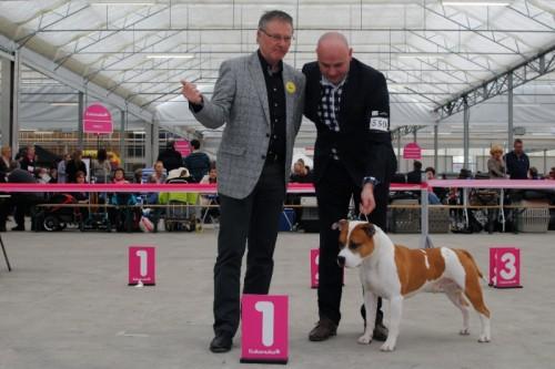 American Staffordshire Terrier Parastone'S Jimmy Junior (J.J.) Hazerswoude