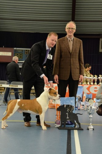 American Staffordshire Terrier Parastone'S Jimmy Junior (J.J.) - KCM ASTCH'12