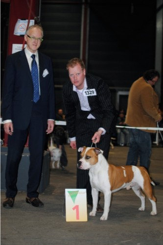 American Staffordshire Terrier Parastone'S Jimmy Junior (J.J.) - Leeuwarden'12