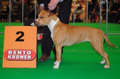 American Staffordshire Terrier Parastone'S Plan Bee (Jazz) - Eindhoven'12