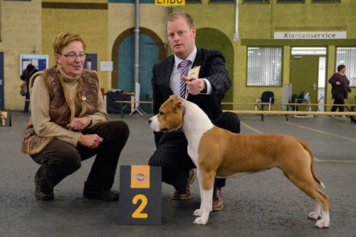 American Staffordshire Terrier Parastone'S Designed With Love (Lilly) - Bleiswijk'12