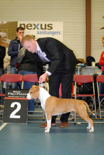 American Staffordshire Terrier Parastone'S Designed With Love (Lilly) - Wijchen Kerstshow'12