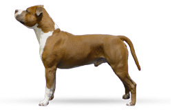 American Staffordshire Terrier Parastone'S Major Lazybones (Baily)