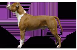 American Staffordshire Terrier Parastone'S Major Lazybones (Baily)