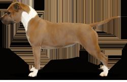 American Staffordshire Terrier Parastone'S Call Me Madam (Bila)