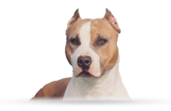American Staffordshire Terrier WoodForest EZ Thunder Dragon (Billy)
