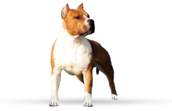 American Staffordshire Terrier FlameWood's Rainbow Dragin (Bimbo)