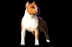 American Staffordshire Terrier FlameWood's Rainbow Dragin (Bimbo)