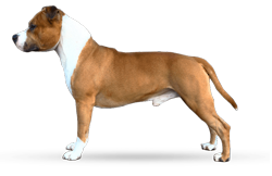 American Staffordshire Terrier Parastone'S Get Up And Boogie (Boogie)
