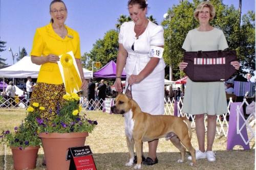American Staffordshire Terrier Parastone'S Call Me Mon Cheri (Brady) - Mensona Kennel Club 1'11