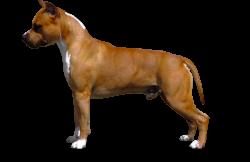 American Staffordshire Terrier Parastone'S Call Me Mon Cheri (Brady)