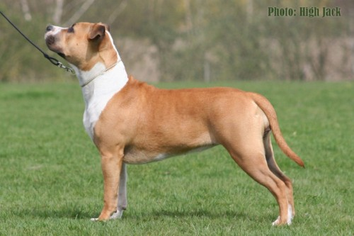 American Staffordshire Terrier Parastone'S Because Its Me (Chili) - Ljungskile'11