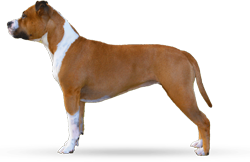 American Staffordshire Terrier Parastone'S Because Its Me (Chili)