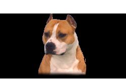 American Staffordshire Terrier WoodForest EZ Devilish Draon (Clyde)