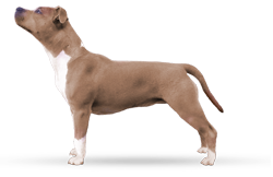 American Staffordshire Terrier Parastone'S Twice as Nice (D.C.)