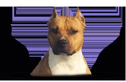American Staffordshire Terrier WoodForest EZ Red Velvet Dragon (Demi)