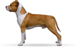 American Staffordshire Terrier Parastone'S Don't Panic (Dexter)