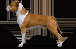 American Staffordshire Terrier Parastone'S Don't Panic (Dexter)