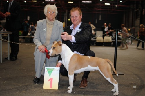 American Staffordshire Terrier Parastone'S Being A Jetsetter (Djennie) - Leeuwarden Internationale'11
