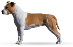American Staffordshire Terrier Parastone'S Being A Jetsetter (Djennie)