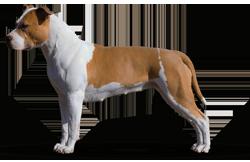 American Staffordshire Terrier Parastone'S Being A Jetsetter (Djennie)