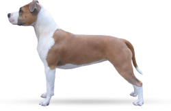 American Staffordshire Terrier Parastone'S Little Miss Patriot (Eva)