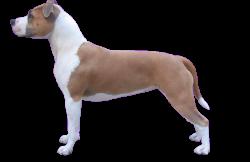 American Staffordshire Terrier Parastone'S Little Miss Patriot (Eva)