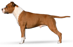 American Staffordshire Terrier Parastone'S Absolute Bullet Proof (Günther)