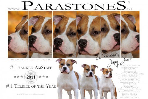 American Staffordshire Terrier Parastone'S Jimmy Junior (J.J.) - #1 AST'11