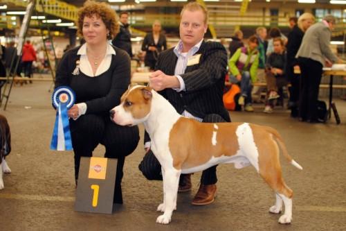 American Staffordshire Terrier Parastone'S Jimmy Junior (J.J.) - Bleiswijk'10