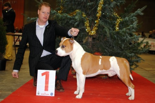 American Staffordshire Terrier Parastone'S Jimmy Junior (J.J.) - Brussel'11