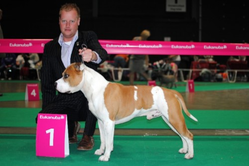 American Staffordshire Terrier Parastone'S Jimmy Junior (J.J.) - Euro Dog Show'11