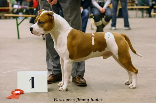 American Staffordshire Terrier Parastone'S Jimmy Junior (J.J.) - Groningen'10