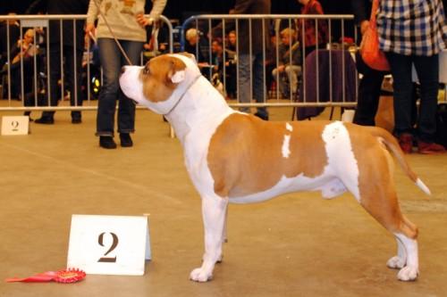 American Staffordshire Terrier Parastone'S Jimmy Junior (J.J.) - Groningen'11