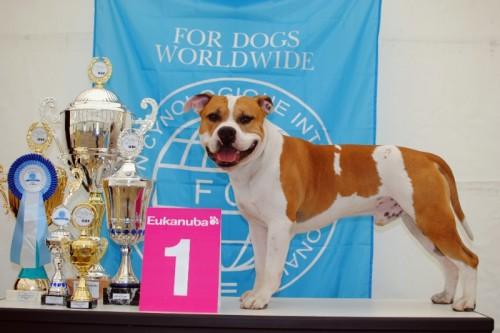 American Staffordshire Terrier Parastone'S Jimmy Junior (J.J.) - Jahrhundertsieger'11