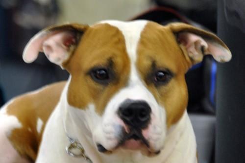 American Staffordshire Terrier Parastone'S Jimmy Junior (J.J.) - KCM ASTCH'11