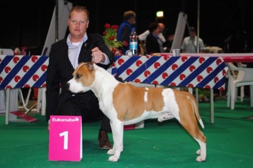 American Staffordshire Terrier Parastone'S Jimmy Junior (J.J.) - Leeuwarden Nationale'11