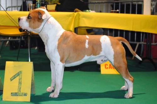 American Staffordshire Terrier Parastone'S Jimmy Junior (J.J.) - Luik'11