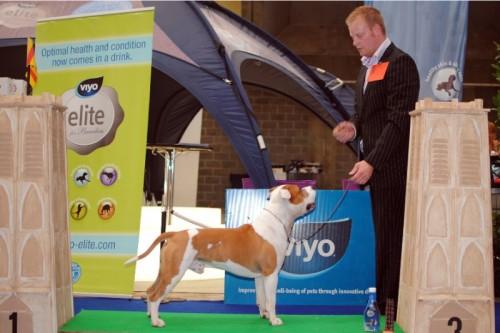 American Staffordshire Terrier Parastone'S Jimmy Junior (J.J.) - Mechelen'11