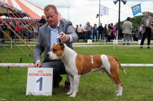 American Staffordshire Terrier Parastone'S Jimmy Junior (J.J.) - Uden'10
