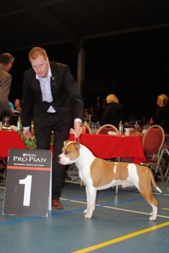 American Staffordshire Terrier Parastone'S Jimmy Junior (J.J.) - Wijchen Kerstshow'11