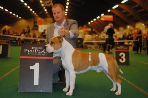 American Staffordshire Terrier Parastone'S Jimmy Junior (J.J.) - Zwolle