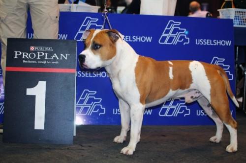 American Staffordshire Terrier Parastone'S Jimmy Junior (J.J.) - Zwolle'11