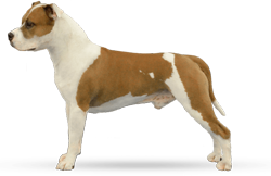 American Staffordshire Terrier Parastone'S Jimmy Junior (J.J.)